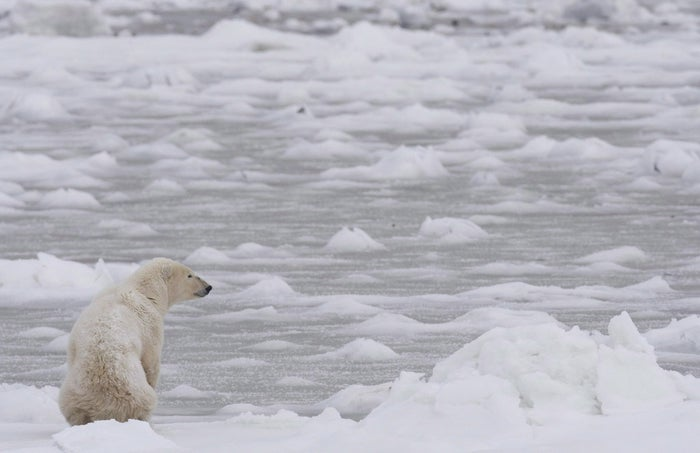 """Andrew Derocher is a professor at the University of Alberta who has been studying polar bears for 32 years. He told BuzzFeed Canada that although it's hard to put """"real context around [the photo],"""" it's rousing conversations of climate change because it's become a more pressing issue. """"Collectively, as polar bear scientists, we are getting more reports and seeing more cases of [starvation],"""" he said. """"Before, people would have gone, 'oh there's a dead polar bear.' Now it's a much bigger issue, and more people are studying this, we get more of this type of information."""""""