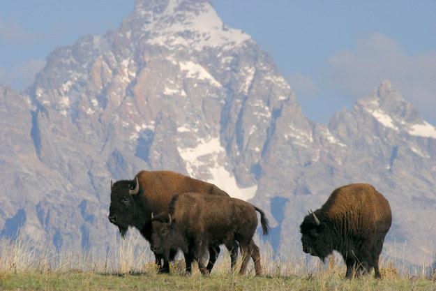 Buffalo buffalo Buffalo buffalo buffalo buffalo Buffalo buffalo, una oración en inglés que es gramaticalmente correcta.