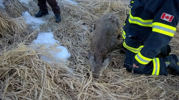 "Four firefighters went to the scene and pulled the deer out of the water, then back to shore. ""One guy went in and kinda boosted the deer up to pull her out,"" McClelland told BuzzFeed Canada."