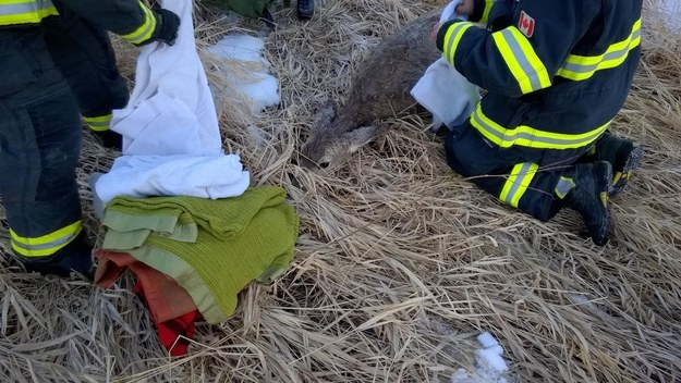 The deer was likely suffering from hypothermia, and probably wouldn't have survived if not for the firefighters. They piled blankets on the deer and watched over her for about 40 minutes while she recovered.