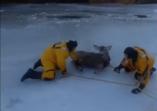 A young deer got herself in major trouble when she ventured out onto the ice in Swift Current, Saskatchewan, and fell through. Luckily some firefighters came to her rescue.