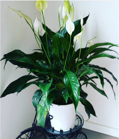 The peace lily is easy to grow and blooms beautiful white flowers, so it's a great addition to any living room or bedroom. NOTE: Leaves are toxic if eaten in large quantities, so keep away from pets. Available at Home Depot ($12) and Ikea ($8), or your local garden store and plant nursery.