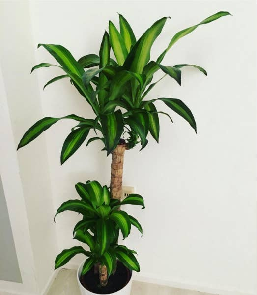 Large house plants that look like trees Large house plants
