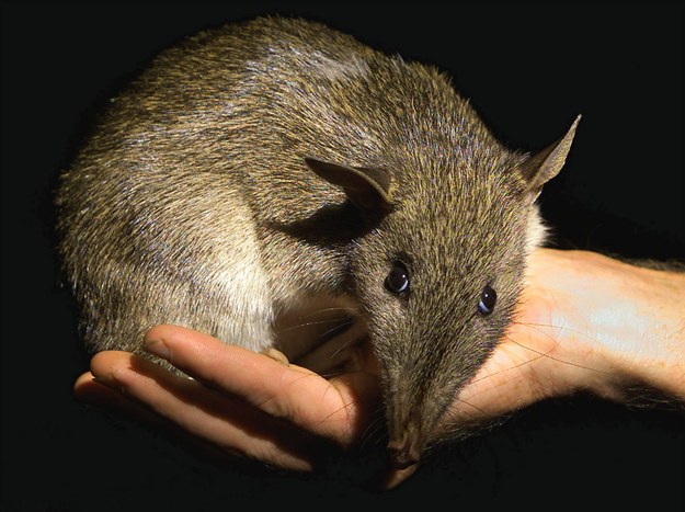 Image result for images of a bandicoot