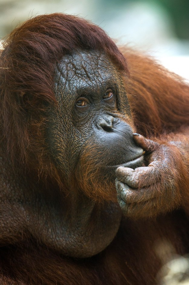 It is not unheard of for a female orangutang to initiate sex with a male by creepin' up on him and masturbating near him.