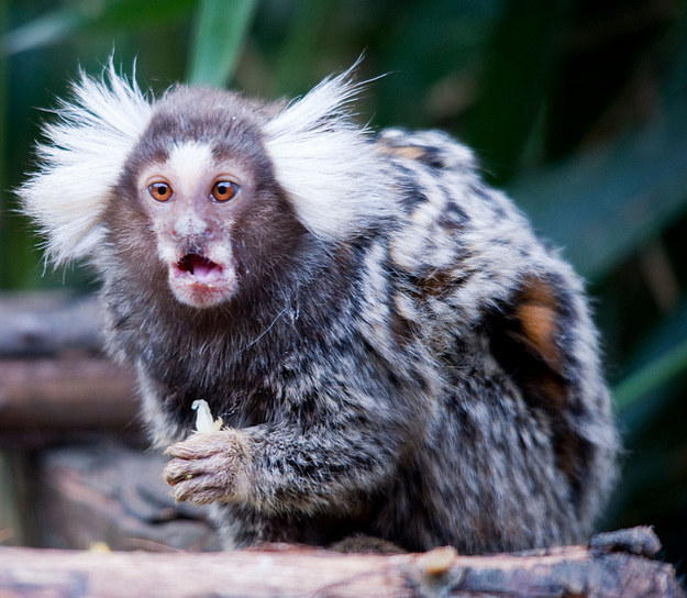 Male common marmosets, at least in captivity, have been known to suck their own dicks when they are unable to mate in their social group.