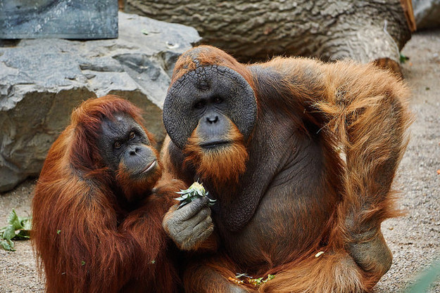 Also, both male and female orangutangs use leaves and twigs to help them stimulate their private bits.