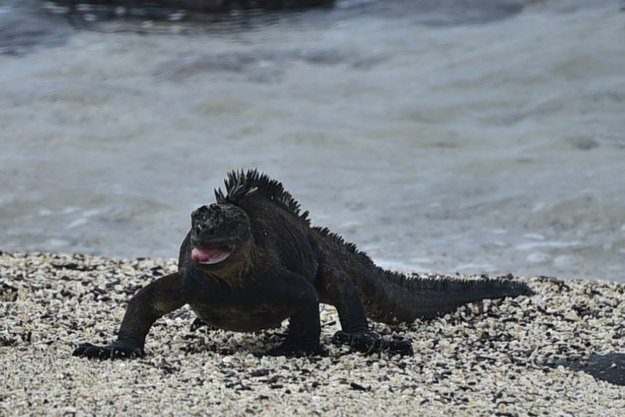 Smaller male marine iguanas will often masturbate before mating with a female so they can ejaculate faster, as they are often pushed away by larger males before they finish.