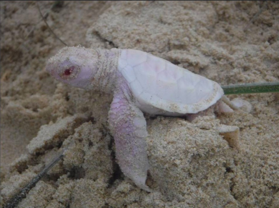 Look At This Incredibly Rare Albino Baby Sea Turtle Making Its Way To The Ocean