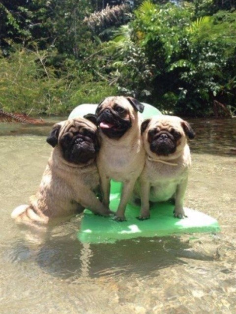 And a pug family portrait.