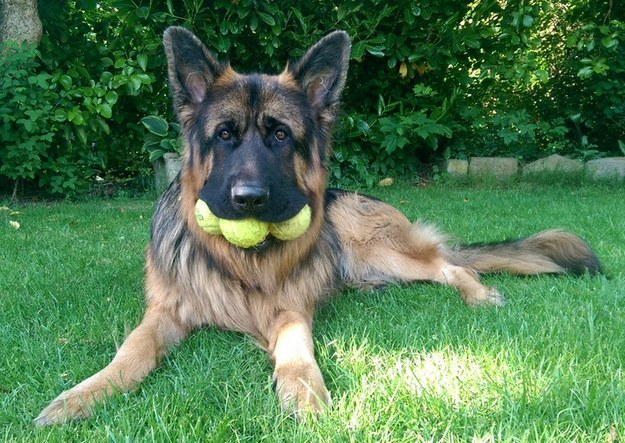 Gaze upon this dog who is very serious about protecting his tennis balls.