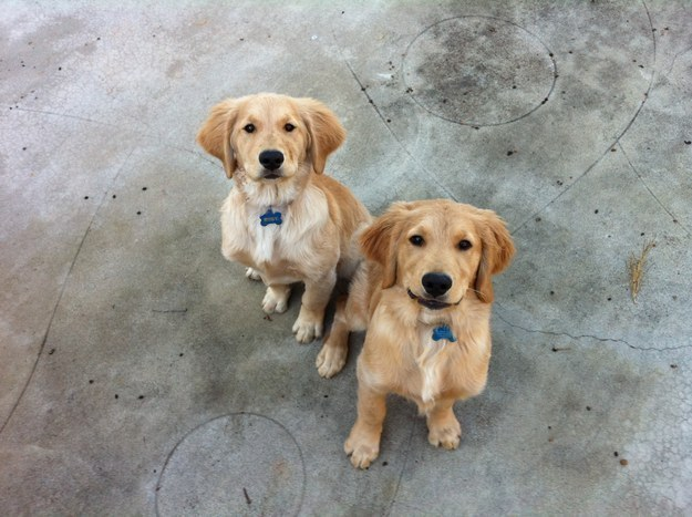 Here are two golden pups on their best behaviour.