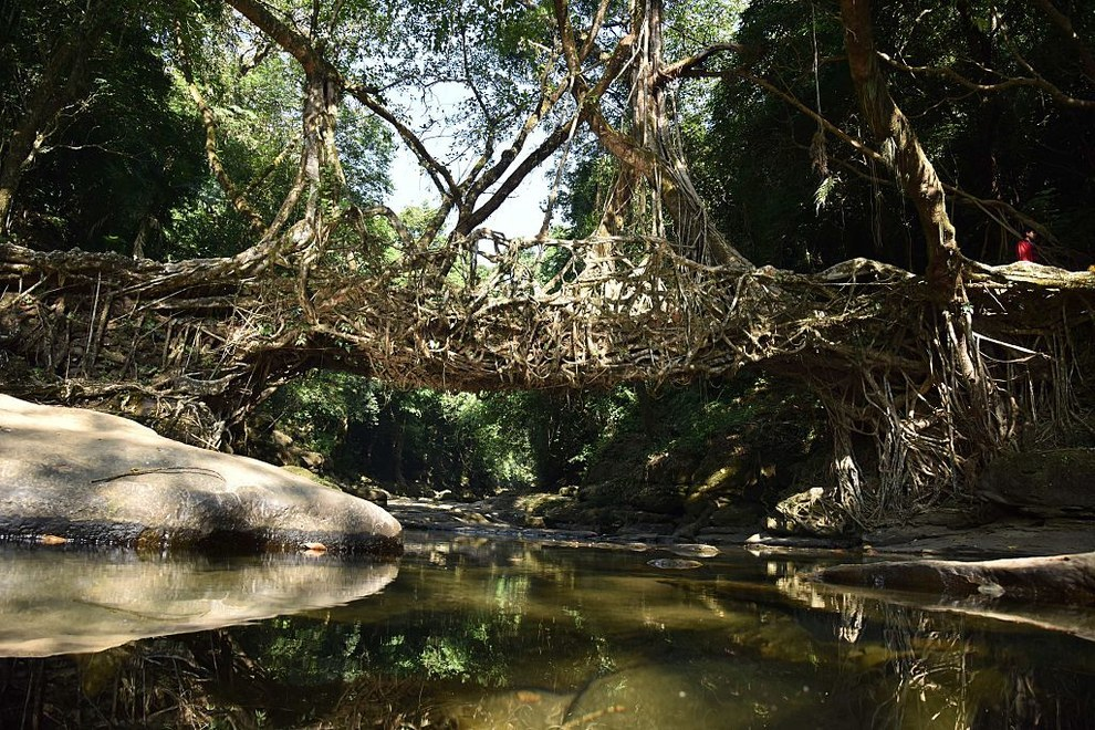 In Meghalaya, living root bridges are formed when banyan trees naturally attach themselves to the other side of a river.
