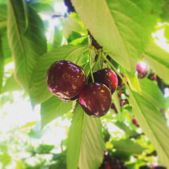 Tasting a cherry just picked from a sunbathed tree.