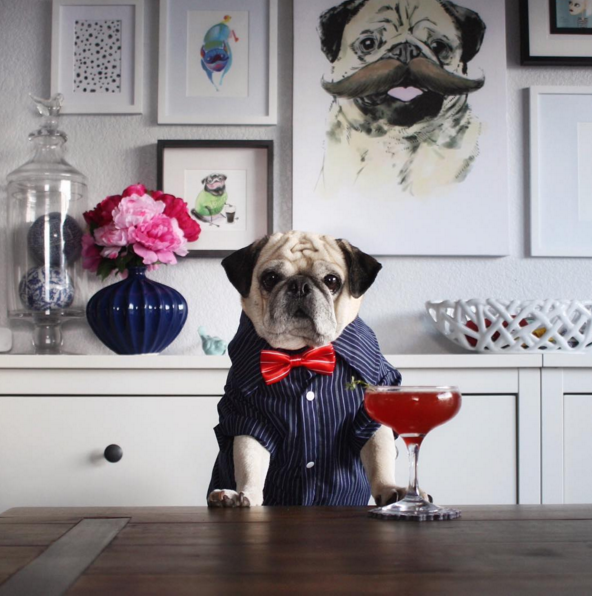 """A fancy gentleman and """"Pugtender"""", Rocco's Instagram combines all the best things on the internet: cocktails and incredibly adorable animals."""