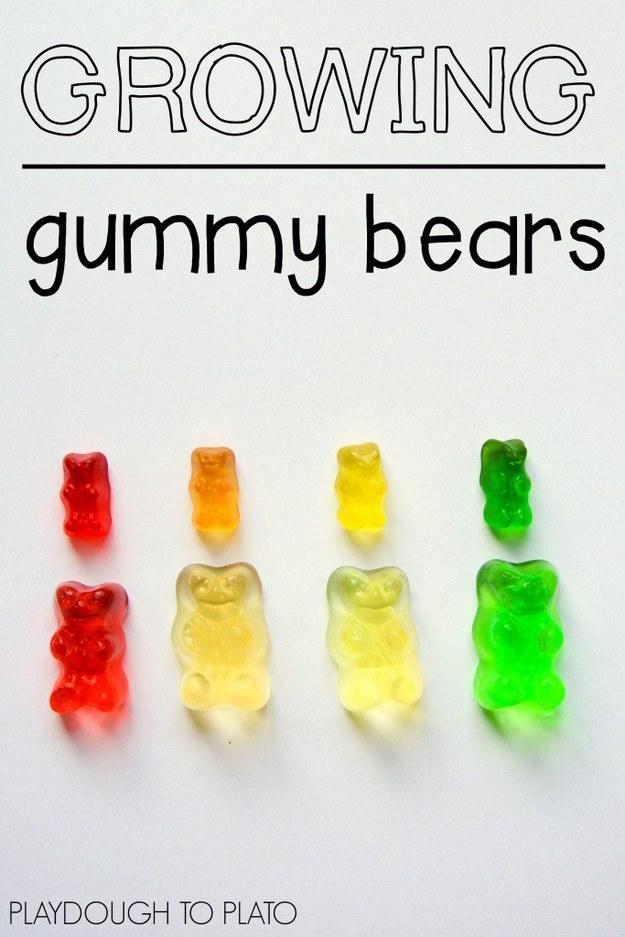 Growing gummy bears.