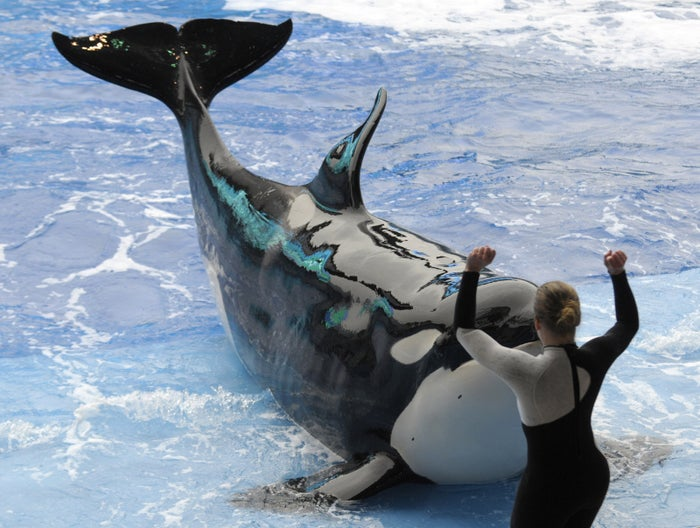 A SeaWorld trainer performs with a killer whale in 2010.