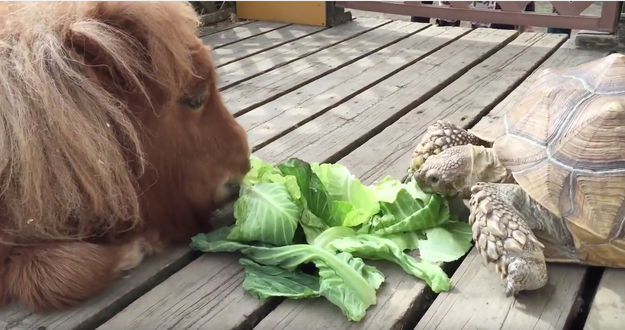 The video starts with a fuzzy, furry mini-pony and a tortoise sharing a lettuce snack.