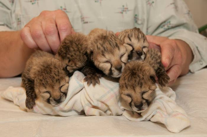 """Vets at the Cincinnati Zoo and Botanical Garden said they hoped the 5-year-old cheetah would recover from the birth, but she became lethargic and lost her appetite. They added that """"without the C-section, we likely would have lost both the mom and the cubs."""" Cheetahs are endangered, and there are about 12,000 in the world today."""