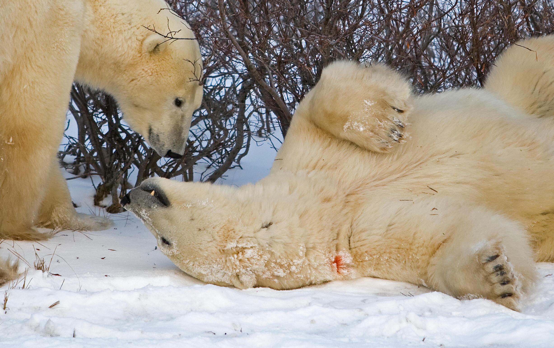 Cientistas colocaram uma câmera em um urso polar canadense e o assistiram fazer coisas de urso