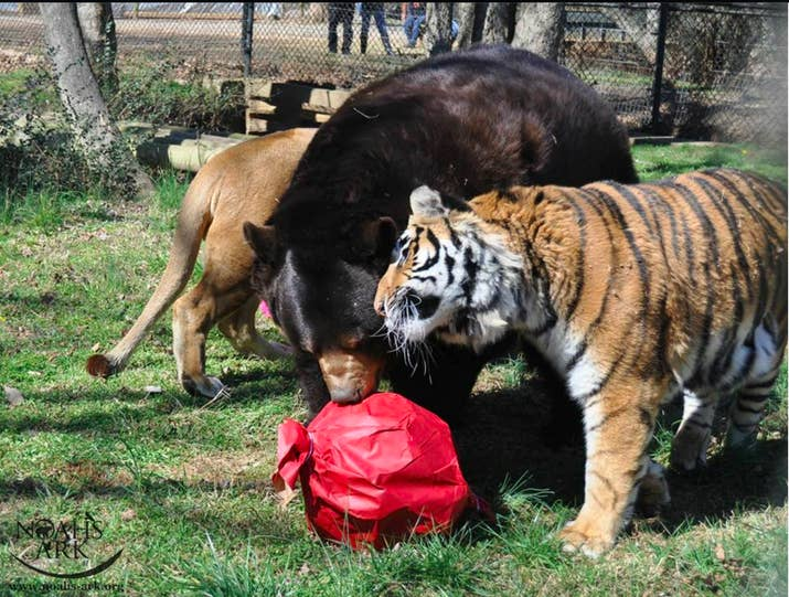 A Lion Tiger And Bear Who Were Rescued From Captivity Are Now - Lion tiger bear best friends