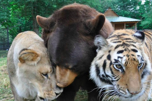 a lion tiger and bear who were rescued from captivity are now best