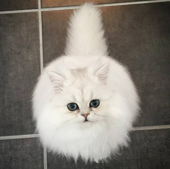 These Cats Are So Fluffy They Dont Look Real - 25 of the fluffiest cats ever