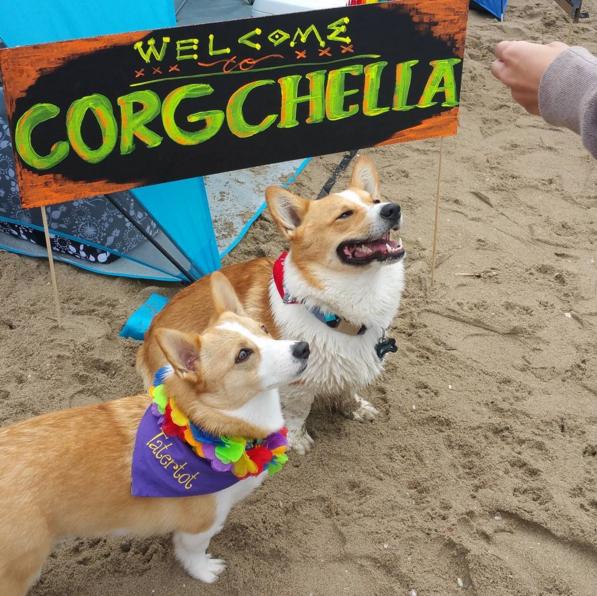 Plus de 600 chiens corgis se sont réunis sur une plage de Californie du Sud samedi 9 avril, pour la 13e édition du Corgi Beach Day.