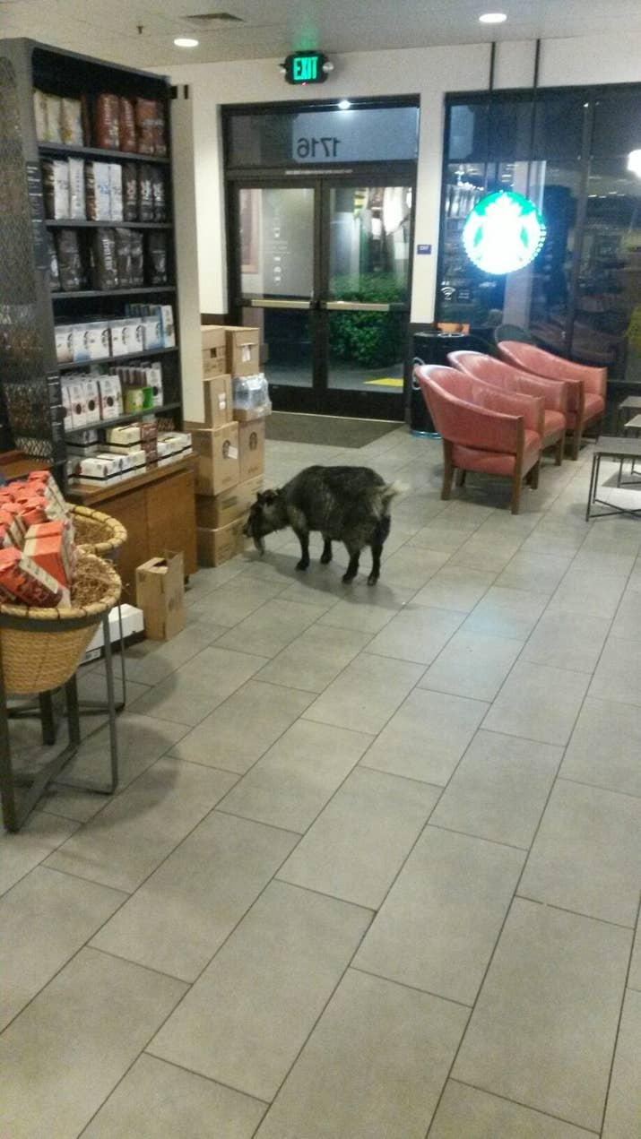 A goat casually walked into a california starbucks city of rohnert park police fire via facebook rohnertparkpolicefire solutioingenieria Image collections