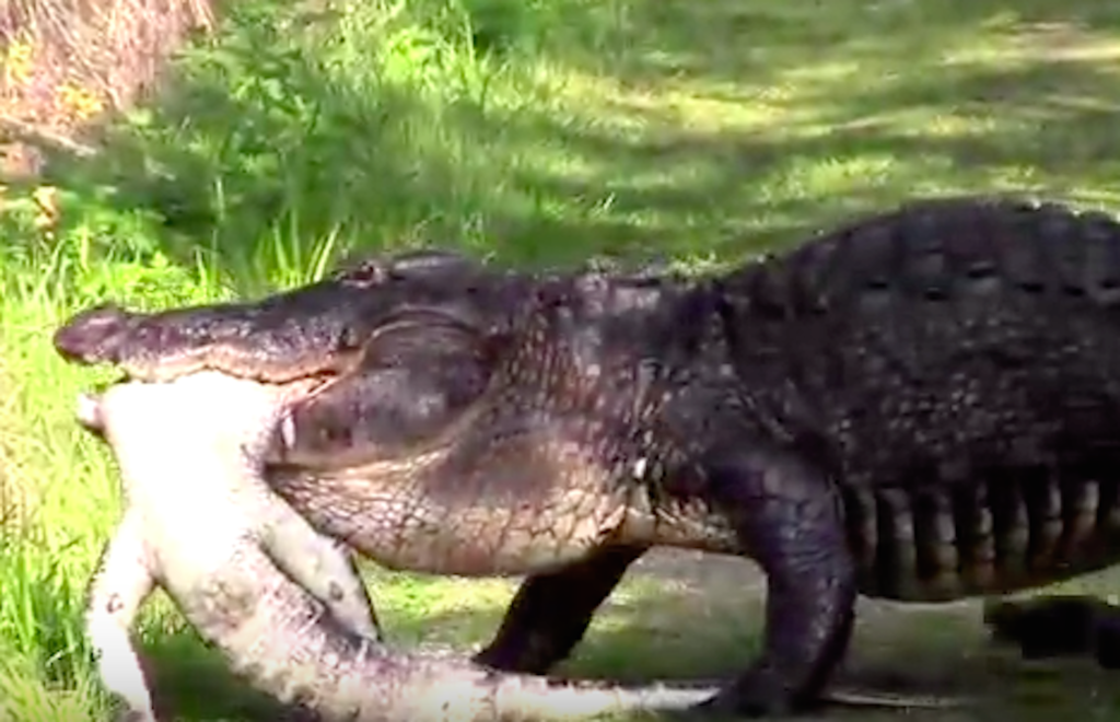 A Huge Alligator Ate Another Alligator Because Florida