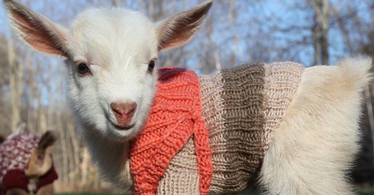 Three Newborn Goats We...