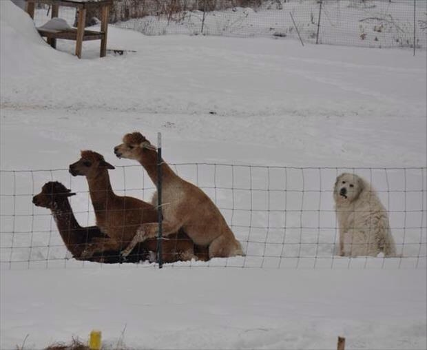 """Only dog at the llama orgy"":"