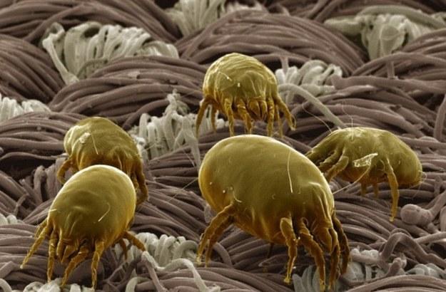 dust mites close up