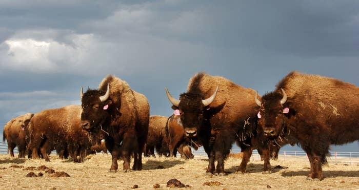 A herd of bison near Poplar, Montana, as seen on April 24, 2012.