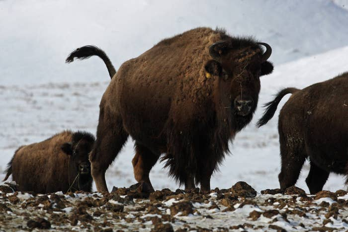 A bison herd near Wolf Point, Montana, on Feb. 11, 2011.