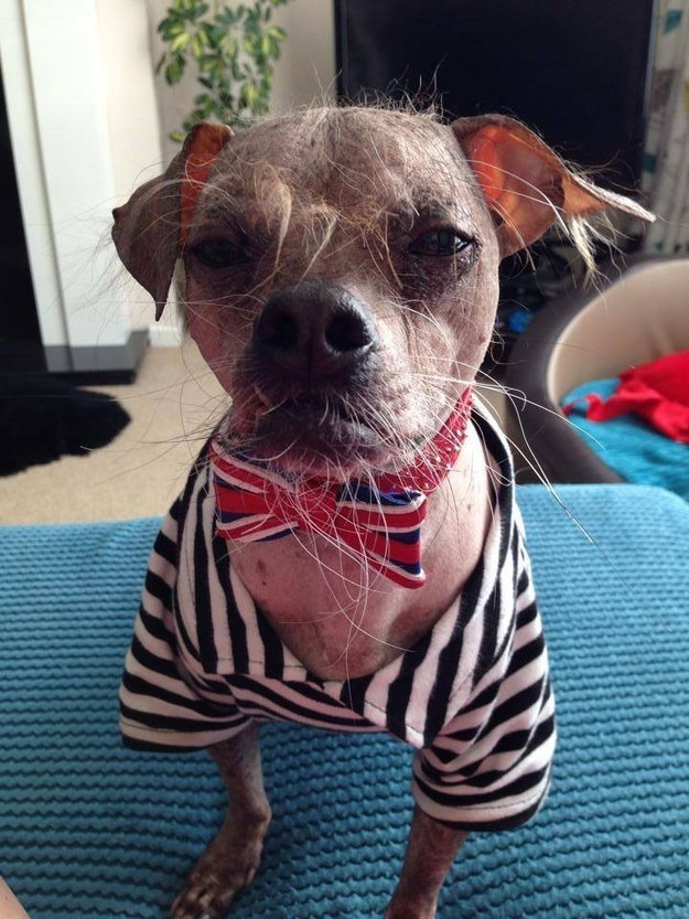 This is Mugly, a 12-year-old Chinese Crested dog.
