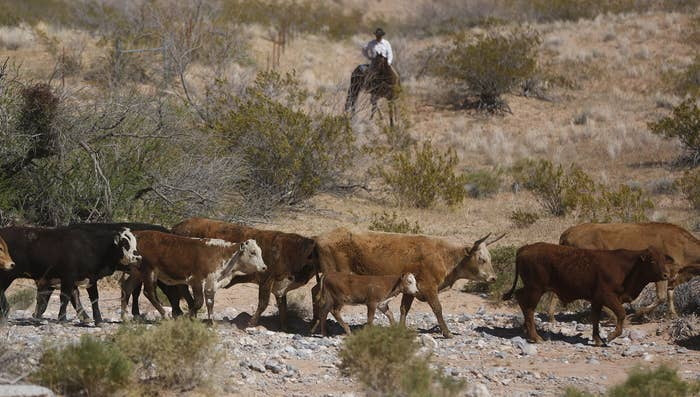 Cattle that belong to Cliven Bundy are released near Bunkerville, Nevada April 12, 2014.