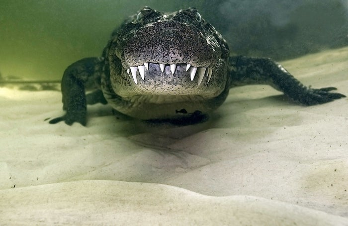 A 10-foot Nile crocodile photographed in Okavango River Delta, Botswana.