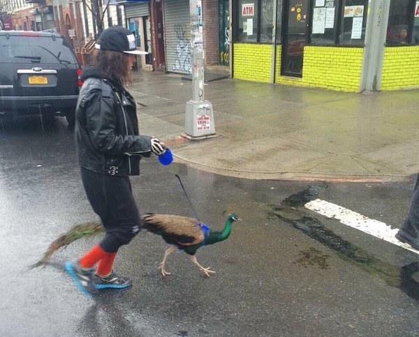Esta mujer paseando a su pavo real.
