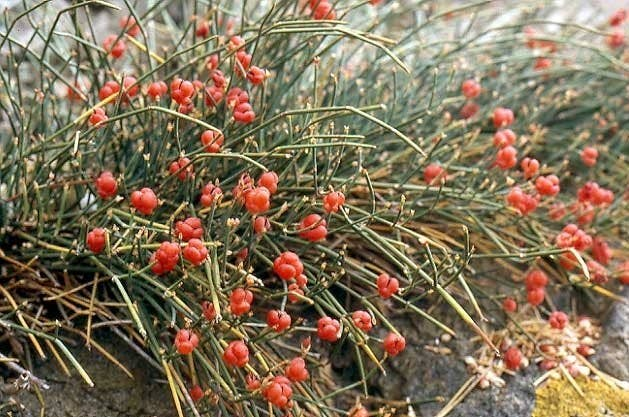 Ten Plants That Are Used To Make Illegal Drugs