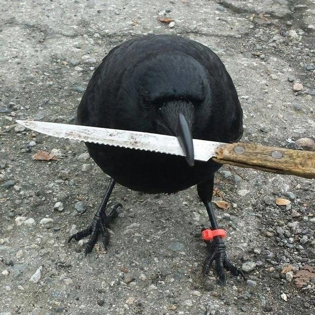 """Yes, the bird did pick up the knife at a crime scene on Tuesday and began to fly away before dropping it,"" Constable Brian Montague confirmed to BuzzFeed Canada."