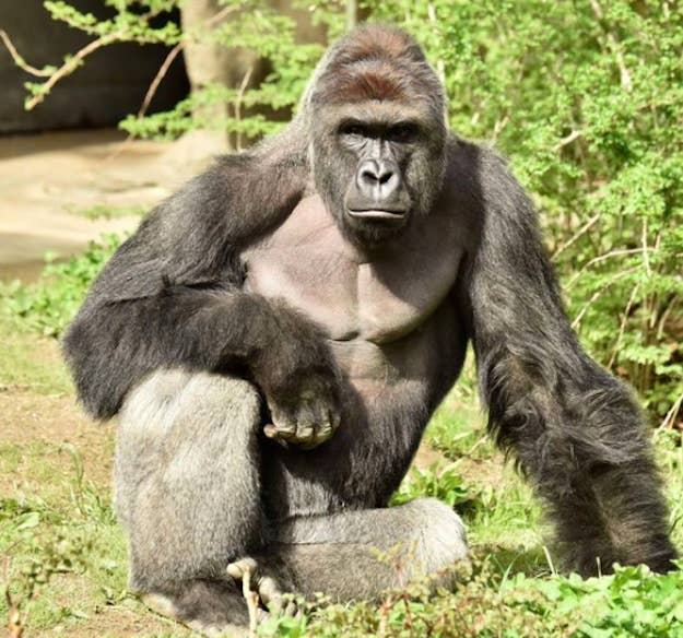 Harambe, a male gorilla, was shot and killed by zoo officials Saturday.