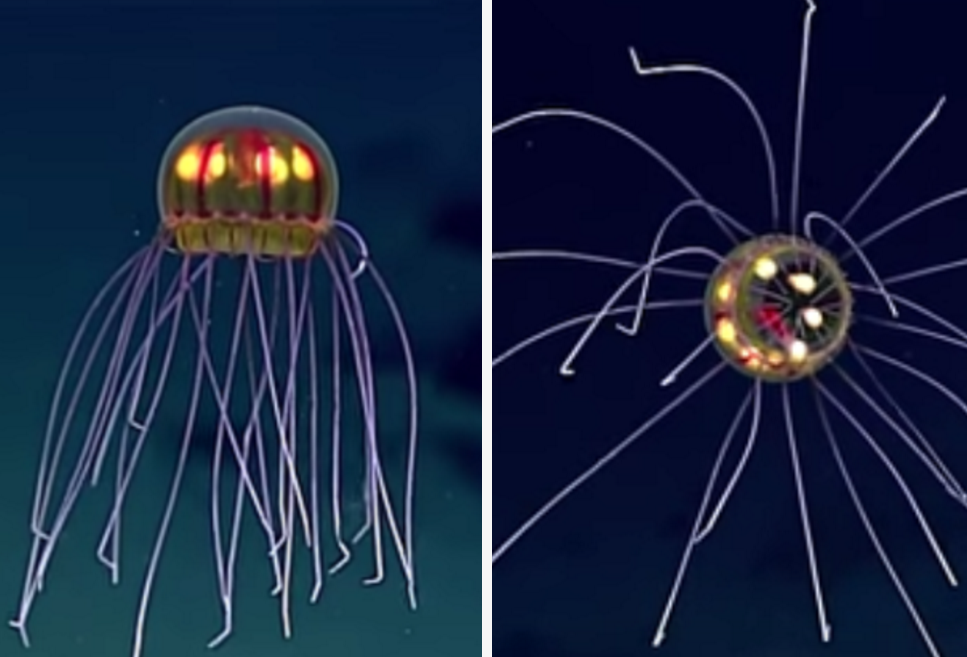 Scientists Found An Incredible Jellyfish And It's Trippy AF