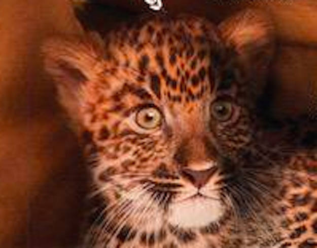 Featuring this really terrified leopard: