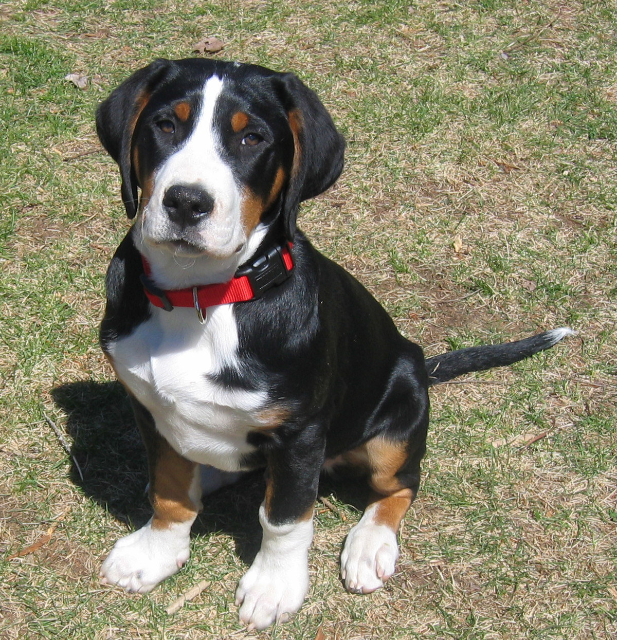 greater swiss dog - HD 1200×1245