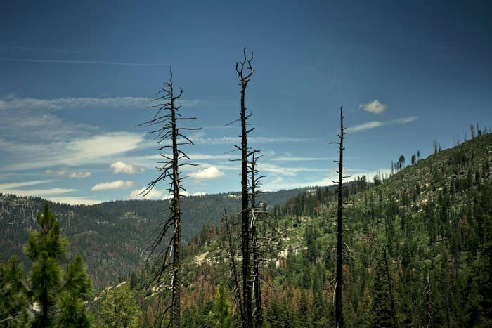 Dead trees are seen in Yosemite National Park on June 18, 2016.