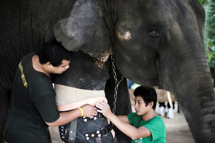 The FAE says Mosha is the first elephant ever to use a prosthetic limb, initially attached in 2007.