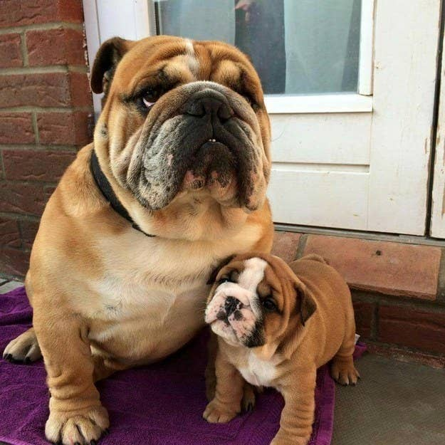 Dogs Who Are Totally Nailing This Dad Thing - 27 dads totally nailed whole parenting thing