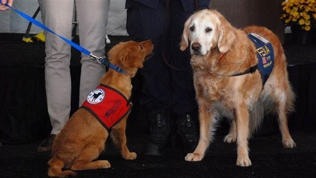 Also in 2014, The Penn Vet Working Center honored Bretagne by naming a service dog in training after her: Bretagne 2.