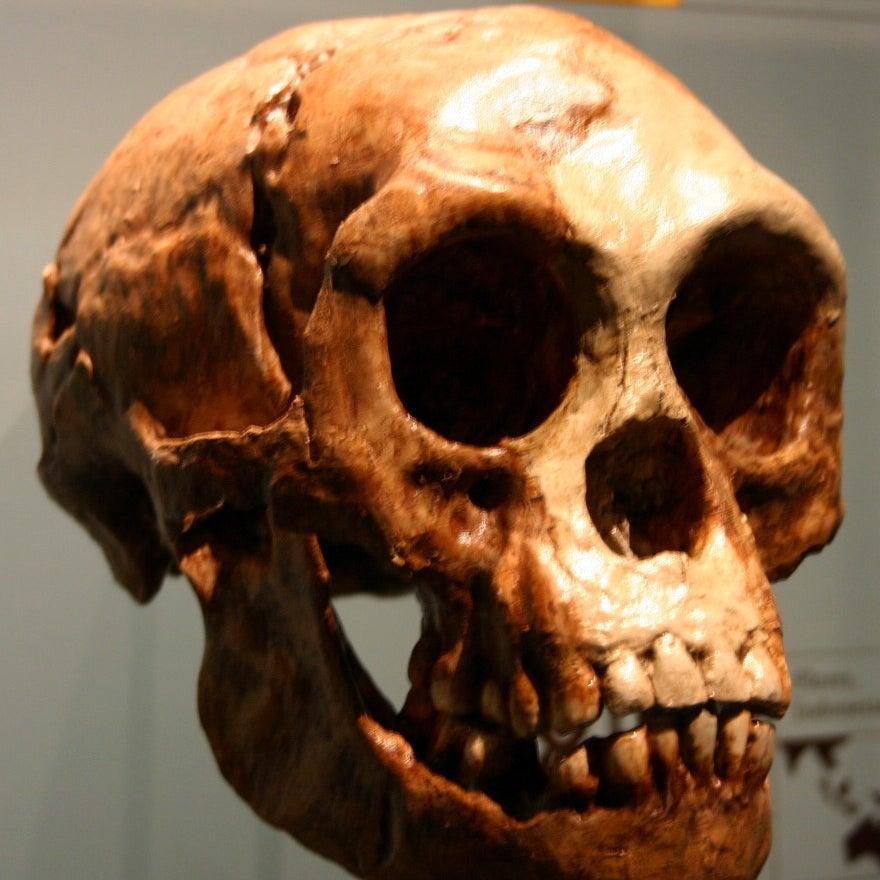 A cast of a Homo floresiensis skull.
